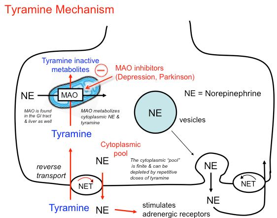 Tyramine mechanism